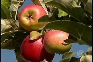Realizada colheita das primeiras maças do Vale do São Francisco - A produção é resultado de muitas pesquisas da Embrapa.