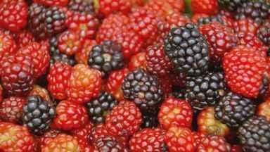 Produção de frutas vermelhas ganha espaço no Sul de Minas - Produção de frutas vermelhas ganha espaço no Sul de Minas