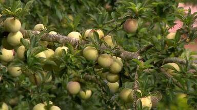 Agricultores de Barbacena, MG, comemoram safra de ameixa - Com clima favorável, produtividade é boa e preço da fruta é positivo.
