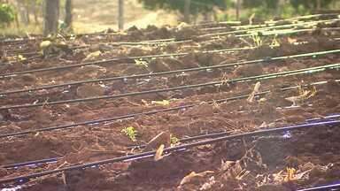 Módulo de irrigação é inaugurado em Ribeira do Amparo - A área total do projeto é de 329 hectares. Cad agricultor da região receberá lote com equipamentos de irrigação e e sementes de milho e feijão.