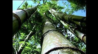Projeto quer expandir o cultivo do bambu no Norte do RS - Variedades da planta são plantadas em Planalto, RS, para que agricultores possam lucrar com o cultivo.
