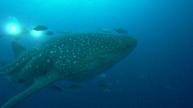Mergulhadores nadam com tubarões em Galápago - O arquipélago de Galápagos apresenta uma grande biodiversidade em um habitat com espécies raras. Mergulhadores tiveram a oportunidade de ver de perto e nadar com um tubarão baleia de 18 metros.
