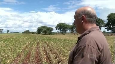 Volta a chover no sul do Mato Grosso Sul - Os agricultores estão torcendo para que a chuva volte com regularidade e não com força. Um agricultor disse que com a forte chuva, chegou a perder 50% da lavoura.
