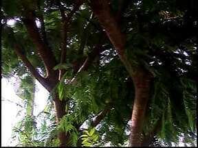 Galhos em rede elétrica preocupam moradores em Araxá - Árvore está localizada em uma residência no Bairro Armando Santos.Proprietária disse pediu ajuda da prefeitura para o corte.