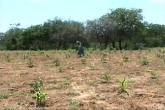 Início do período chuvoso no norte da Bahia traz novo ânimo aos agricultores - Eles retomam a produção depois de quase três anos de seca na região. Em dezembro choveu quase o dobro do que era previsto para o mês.