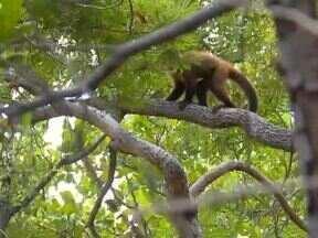 Ibama devolve 55 macacos-prego apreendidos à natureza no Piauí - Animais foram soltos em áreas de proteção permanente em Guadalupe.Maioria dos macacos foram apreendidos em ações de combate ao tráfico.