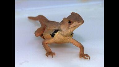 Pesquisadores descobrem nova espécie de lagarto no Cariri - Espécie foi descoberta em Santana do Cariri.