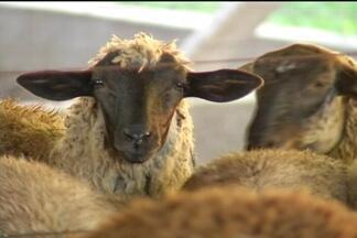 Oferta e demanda - Demanda por carne de cordeiro continua aquecida e oferta de animais para abate ainda é menor do que a capacidade do setor industrial