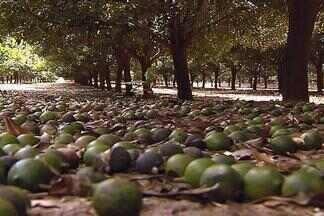 Tempo de macadâmia - Safra deve ser maior este ano no município de Dois Córregos. Os agricultores estão animados com a safra