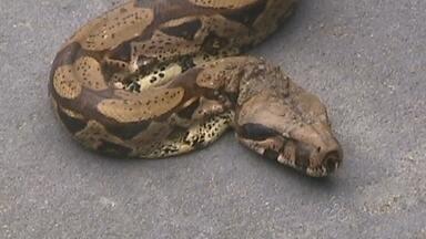 Moradores capturam cobra de mais de 2 metros em rua de Manaus - Jiboia foi capturada enquanto tentava atravessar rua; animal foi reintroduzido em área de mata na Zona Leste da cidade.