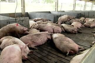 Fazenda em Brasília usa técnica que privilegia bem-estar de porcas prenhes - Os animais ficam soltos e têm mais espaço para aguardar a chegada dos leitõezinhos.