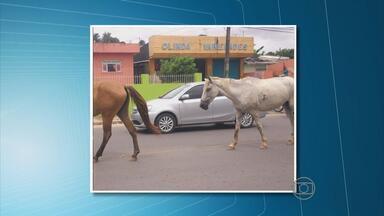 Animais soltos em avenida de Olinda são riscos para motoristas - Cavalos circularam na Avenida Governador Carlos de Lima Cavalcanti, em Bairro Novo.