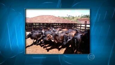 Polícia Militar encontra vacas roubadas em Minas - Animais haviam sido roubados em fazenda de Uberlândia.