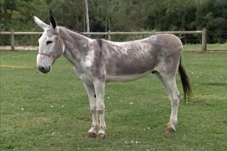 Criadores brasileiros trabalham no melhoramento genético dos cavalos marchadores - Eles selecionam, padronizam e modernizam as raças.