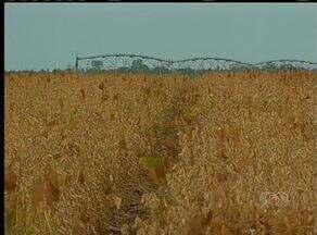 Produtores começam plantio cruzado da soja visando aumento na produtividade - Produtores começam plantio cruzado da soja visando aumento na produtividade.
