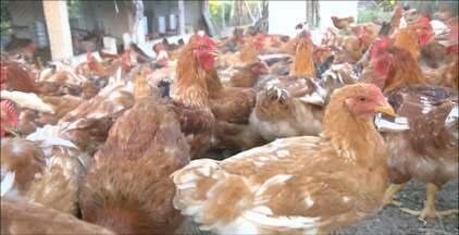 Quadro Paraíba Rural mostra a criação da galinha caipira no agreste paraibano - Veja na reportagem de Lucy Alves como os agricultores estão fazendo isso para ter uma renda extra, além da agricultura.