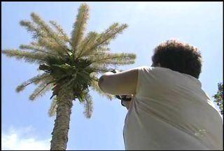 Palmeira típica do Sri Lanka floresce em Fortaleza - Espécie demora entre 40 e 80 anos para florescer.