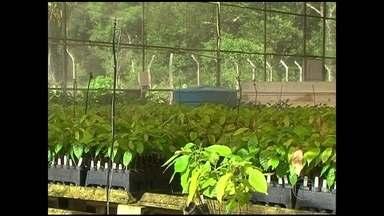 Novas variedades de cacau devem ajudar a conter a vassoura de bruxa na Bahia - As novas variedades vem de estudos da Ceplac, a Comissão Executiva do Plano da Lavoura Cacaueira. As mudas foram clonadas de plantas mais resistentes à vassoura de bruxa e com boa produtividade.