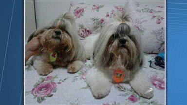 Cães Shith Tzu são roubados na Pituba, em Salvador - Segundo o donos dos animais, um homem armado levou os dois animais, que se chamam Marley e Scooby.