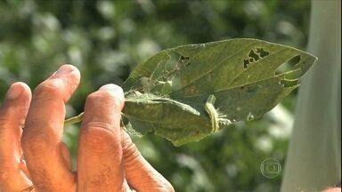 Lavouras de soja do RS sofrem com ataque de lagarta - O ataque da lagarta falsa medideira está prejudicando as lavouras de soja. Segundo os agricultores, o inseto está mais resistente e com comportamento parecido com o da helicoverpa armigera.
