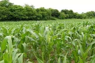 Produtores esperam colher boa safra após chuvas no sul do Ceará - Segundo a Conab, o Ceará deve colher quase 650 mil toneladas de grãos, este ano, número três vezes maior que a safra do ano passado.