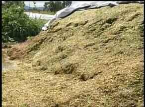 Produtores começam a armazenar capim para a alimentação do gado durante a estiagem - Produtores começam a armazenar capim para a alimentação do gado durante a estiagem