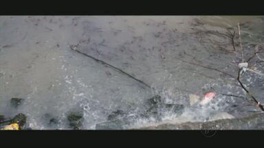 Após forte chuva, peixes aparecem mortos em Pouso Alegre (MG) - Após forte chuva, peixes aparecem mortos em Pouso Alegre (MG)