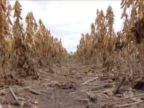 Piauí deve colher mais do que o dobro da safra de soja de 2013 - Piauí deve colher mais do que o dobro da safra de soja de 2013