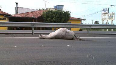 Cavalo morto na rodovia AL-101 Sul causa transtorno no trânsito - Os motoristas que trafegavam na rodovia próximo a Massagueira, no sentido Maceió/ Francês solicitou a presença de policiais no local para a retirada do animal, mas ele continua na pista, até o momento.