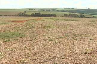 Produtores de trigo do Paraná pretendem aumentar área de plantio - Na bolsa de Chicago, o preço do trigo subiu 15% desde o começo do ano. Produtores nacionais se animaram com o preço e ampliaram plantio que começa em abril.