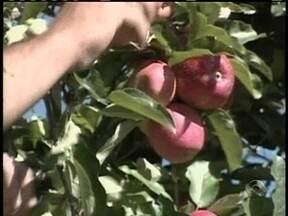 Com queda na produção, consumidor deve pagar mais caro pela maçã - Com queda na produção, consumidor deve pagar mais caro pela maçã