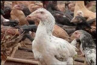 90% dos três mil pequenos produtores do Norte de MG criam frango caipira, segundo Emater - Produtores afirmam que criação exige atenção, mas rende bons lucros.