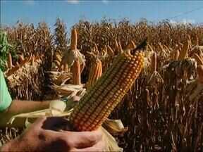 Distrito de Entre Rios bate recorde na produção de milho - A produção superou as médias brasileira e norte-americana.