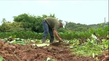 Colheita do Inhame é antecipada em Minas Gerais - Pequenos agricultores de Barbacena, em Minas Gerais, anteciparam o começo da safra para conseguir um preço melhor.