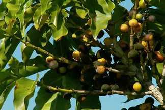 Produtores de Minas adiantam colheita para garantir a qualidade do café - A colheita do café arábica está começando no sul de Minas Gerais. Pouca chuva, associada às altas temperaturas registradas no início do ano, aceleraram a formação dos grãos.