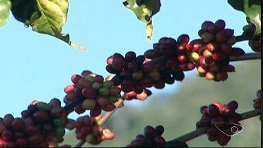 Veja os detalhes e preparativos para a colheita do café no ES - Produtores esperam aumentar a produção.