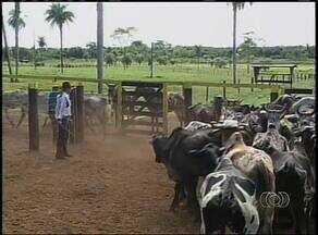 Campanha contra a febre aftosa é lançada em Araguaína - Campanha contra a febre aftosa é lançada em Araguaína.