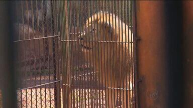 Leão levado de Monte Azul Paulista é encontrado - Animal foi encontrado em em Maringá