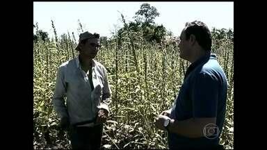 Agricultores de Goiás investem na plantação de Gergelim - Mercado é garantido e o dinheiro compensa o esforço para os pequenos agricultores do Norte de Goiás.