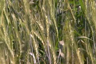 Agricultores dobram área plantada com trigo em Minas Gerais - Nova fronteira agrícola se abre em pleno cerrado brasileiro.