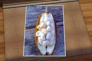 Especialista explica diferença entre uma árvore de castanha-do-pará e de monguba - Segundo o agrônomo Chukichi Kurosawa, espécie monguba pode ser chamada também de mamorana, castanha d'água ou das guianas.