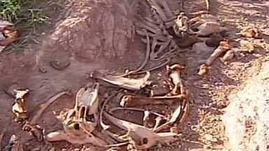 Polícia do Meio Ambiente fecha abatedouro clandestino em Carmo do Paranaíba - Segundo veterinários, a carne era imprópria para o consumo. Açougueiro foi preso em flagrante.
