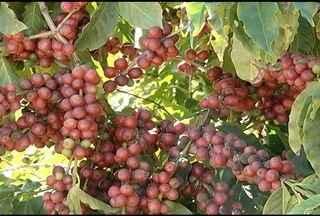 Ibiaí, no Norte de Minas, se destaca na produção de café irrigado - Algumas propriedades produzem 60 sacas por hectare, número acima da média nacional.