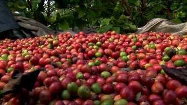 Região sul da BA vem se destacando no cultivo do café conilon - Quando se fala em café conilon no Brasil, a referência é o Espírito Santo, maior produtor do grão no país.