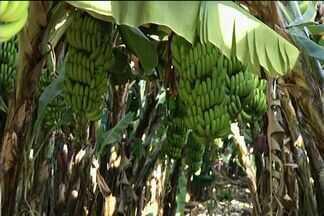 Produtores rurais de Ouro Verde investem em cultivo da banana maçã - Em Ouro Verde, a 73 quilômetros de Goiânia, os produtores estão investindo no cultivo da banana maçã, que é um novidade por lá.
