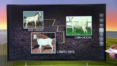 Bode chifrudo com cabra mocha ou vice-versa geram filhotes férteis, saudáveis - Em cruzamento de bode chifrudo com uma cabra chifruda também não há risco de infertilidade.