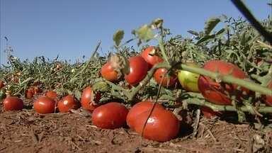 Em GO, alta produção de tomate movimenta o campo e as indústrias - Safra do tomate está boa e o preço satisfaz os produtores.