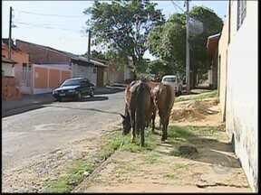 Acidentes com animais tem aumentado na região Centro-Oeste Paulista - O número de acidentes com animais nas rodovias e também na área urbana tem aumentado na região Centro-Oeste Paulista. Os animais estão indo para estradas e é preciso evitar os acidentes.