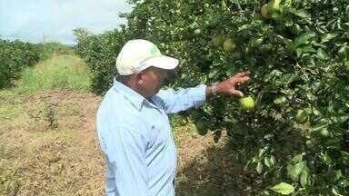 Trabalho de agricultor de laranja pêra de Palmeira dos Índios é modelo no Agreste - A produção se desenvolveu graças a assistência técnica.