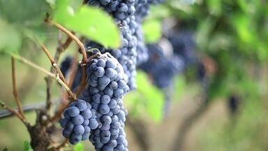 Cocalzinho guarda plantação de uvas para a produção do vinho - Em Cocalzinho, a 100km de Brasília, são 15 hectares de plantação de uva. Até a década de 90, o município era conhecido pela produção de cimento. Agora, a cidade vem sendo reconhecida nacionalmente pelas vinícolas.